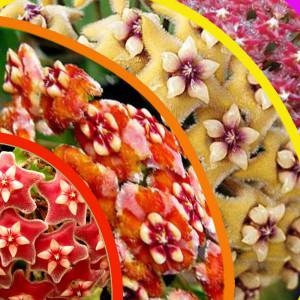 радуга цветущей хойи