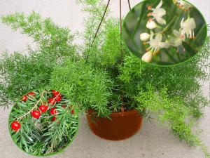аспарагус шпренгера, цветки и ягоды