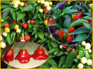 различные плоды стручкового перца