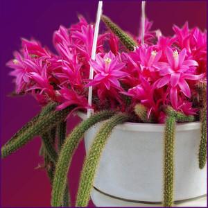 кактус фото