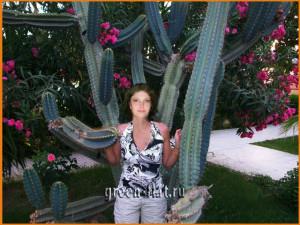 огромный кактус