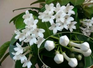 цветки стефанотиса