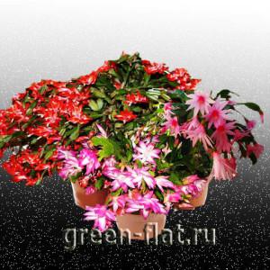 цветущие декабристы