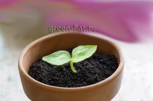 шеффлера из семян