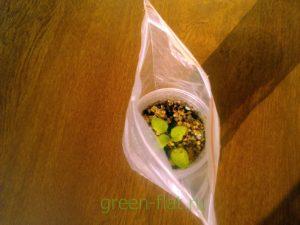 сеянец глоксинии в пакетике