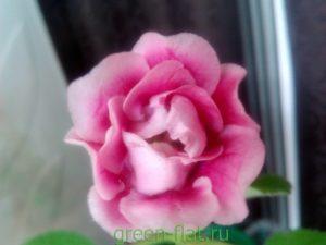 розовая махровая