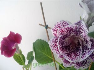 размножение глоксинии семенами